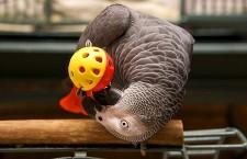 Nebezpečné hračky pro papoušky: můžou poranit, nebo i zabít!