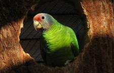 Paternitní testy: bez nich některé papoušky s CITES neprodáte