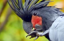 Vjihlavské ZOO uhynul zabavený kakadu palmový