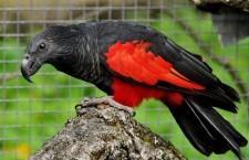 Trichy orlí mají v Česku již tři chovatelé v 11 párech