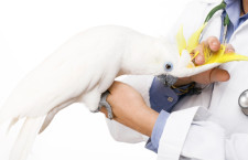Kakadu žlutočečelatý na návštěvě u veterináře (Foto: Inyourflock.com)