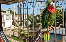 Amazoňan kubánský: ohrožený, nebo ohrožující druh?