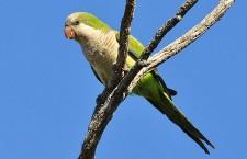 Papoušci nadivoko v Česku? Kolonie mníšků žila v Posázaví