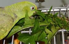 Zelené krmení, kterým nepohrdne váš papoušek: pampeliška, jitrocel nebo ptačinec