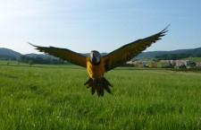 Šumperské ararauny už létají bez kšír. Výcvik se vydařil