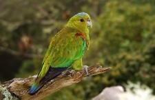 Vědci zvětšili rezervaci pro vzácného amazónka Fuertesova. Zachrání ho?