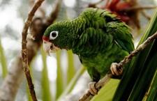 Amazoňan portorický už nebude vyhuben, věří vědci. Z 13 ptáků už jsou čtyři stovky