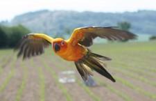 Další volně pouštěný papoušek v Česku: aratinga sluneční v Brně