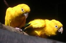 Ostravská zoo počtvrté odchovala aratingy žluté. Chce si pořídit druhý chovný pár