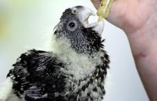 Hodí se ručně odchovaní papoušci do chovu, nebo ne?