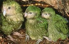 Nelétavý papoušek kakapo soví patrně uniknul vyhubení. Žilo jich jen 51, nyní už 127