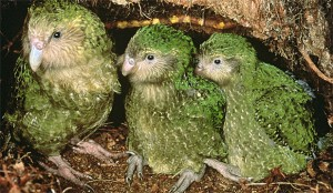 Kakapo soví s mláďaty