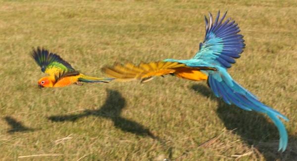 Ptačí chřipka se přenáší především trusem divokých ptáků. K tomu se lehce dostanou papoušci při volném letu (Foto: Bára Janečková)