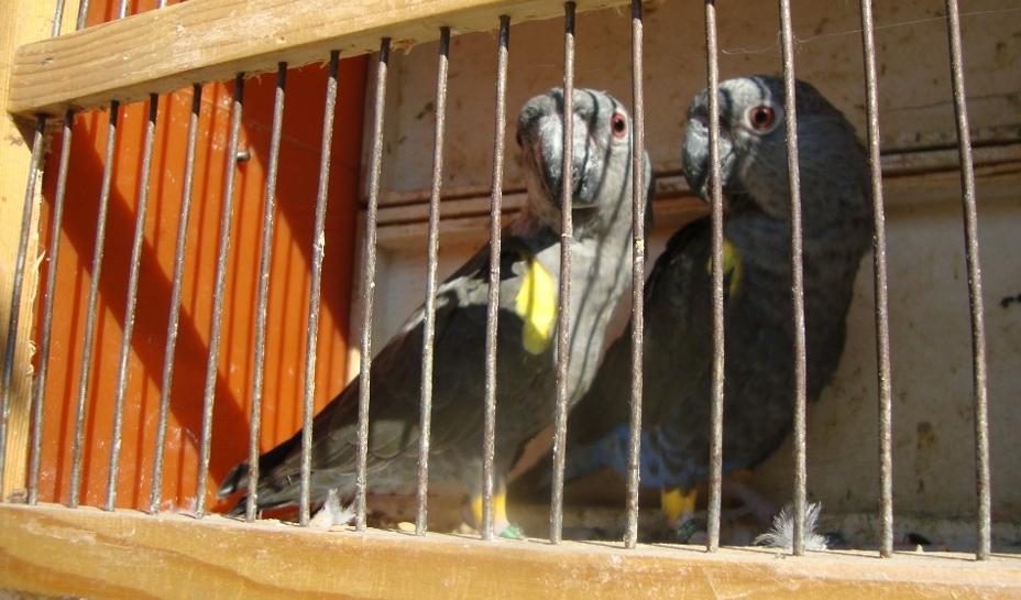Větší a těžší samice je shodně s mladými ptáky jednobarevně hnědá, celkově.