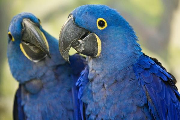 Ara hyacintový je jedním z druhů papoušků, kteří v novém Rákosově pavilonu budou k vidění (Foto: Tomáš Adamec, Zoo Praha)