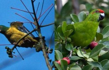 Dalším 100 druhům ptáků hrozí vyhubení, z toho dvěma papouškům