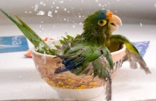 Proč je koupání pro papoušky tak důležité?