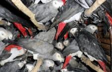 Zakažte vývoz žaků z Konga a Kamerunu, žádala mezinárodní petice. Neuspěla
