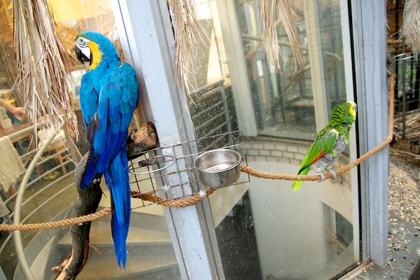 Papoušci ve společné voliéře si vesměs dobře rozumí. Jen zpočátku prý amazoňani naháněli nově příchozí ary ararauny. (Foto pro Ararauna.cz: Ivana Dvorská)