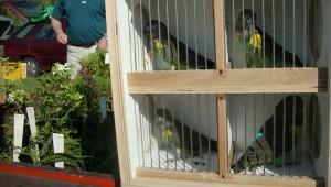 Papoušci žlutoramenní