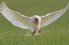 Australané požadují odstřel kakaduů naholících. Přemnožili se jako holubi