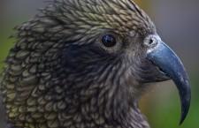 Neuvěřitelně inteligentní nestor kea: dokáže klacíkem zneškodnit past na lasice