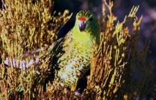 Západoaustralská vláda vyčlení miliony na záchranu papouška zemního západního