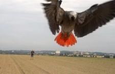 Řady volně vypouštěných papoušků v Česku rozšířil žako Richard z Hlučína