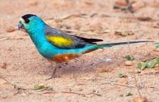 Australská vláda vykoupila pozemky pro ochranu papouška žlutoramenného