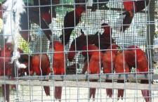 Výbor CITES schválil sankce pro Šalomounské ostrovy a Sýrii kvůli vývozu papoušků