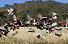 """""""Přizpůsobte jízdu hejnu kakaduů na krajnici,"""" varují řidiče u australské Canberry"""