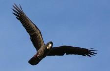 Sčítání ukázalo významný úbytek kakaduů černých v jihozápadní Austrálii