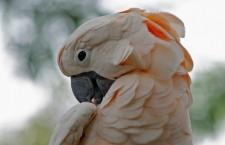 Paradox: zákaz obdělávání půdy v rezervaci vede k úbytku kakaduů moluckých