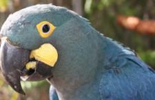 Pražská zoo veřejně vystaví ary kobaltové, do dvou let jim zřídí novou expozici