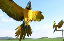 Další společné létání papoušků v Česku: pár araraun a žako u Šumperka