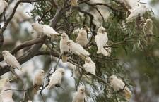 """""""Nezabíjejte papoušky, jsou tu doma!"""" protestují ochránci proti odstřelu přemnožených kakaduů"""