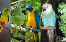 Pět nejvzácnějších papoušků světa: dva arové, amazoňan, neoféma a kakapo