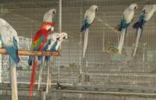 Barevné mutace papoušků: jsou to krasavci, nebo bastardi?