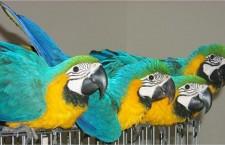 Dovážené či vyvážené papoušky je nutné proclít, upozorňuje mluvčí Celní správy