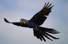 Vědci poprvé vyčíslili náklady na záchranu nejohroženějších ptáků: 76 miliard dolarů ročně