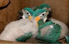 Studie prokázala, že ohrožení papoušci bývají v zajetí častěji neplodní než v přírodě