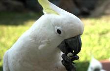 Papoušci se dělí stejně jako lidé na praváky a leváky, zjistil tým australských vědců