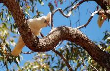Západní Austrálie vyškrtla kakadua naholícího ze seznamu ohrožených druhů