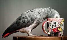 Kuvajtská policie neuznala papouškovo napodobování milostné konverzace za důkaz nevěry