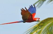 Mexiko v příštím roce vypustí do přírody 60 arů arakang, do pěti let dalších 250