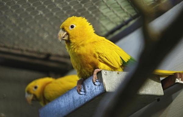 Počet registrovaných aratingů žlutých v České republice přesáhnul stovku. Jde o jeden z méně častých druhů papoušků, které se v posledních letech daří úspěšně odchovávat. (Foto pro Ararauna.cz: Tomáš Kubelka)