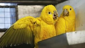 Aratinga žlutý