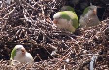 New Jersey kácí stromy s hnízdy mníšků šedých. Postaví jim náhradní plošiny