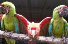 Kostarický Ara Project na záchranu arů arakang a zelených přišel o pozemek. Má tři měsíce na vystěhování