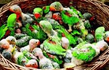 V Indii se pět tisíc rodin živí odchytem a prodejem ptáků. Polovinu úlovků tvoří papoušci
